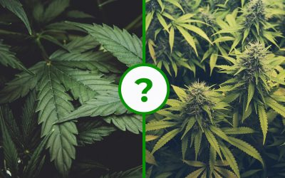 What is the Difference Between Hemp and Cannabis?