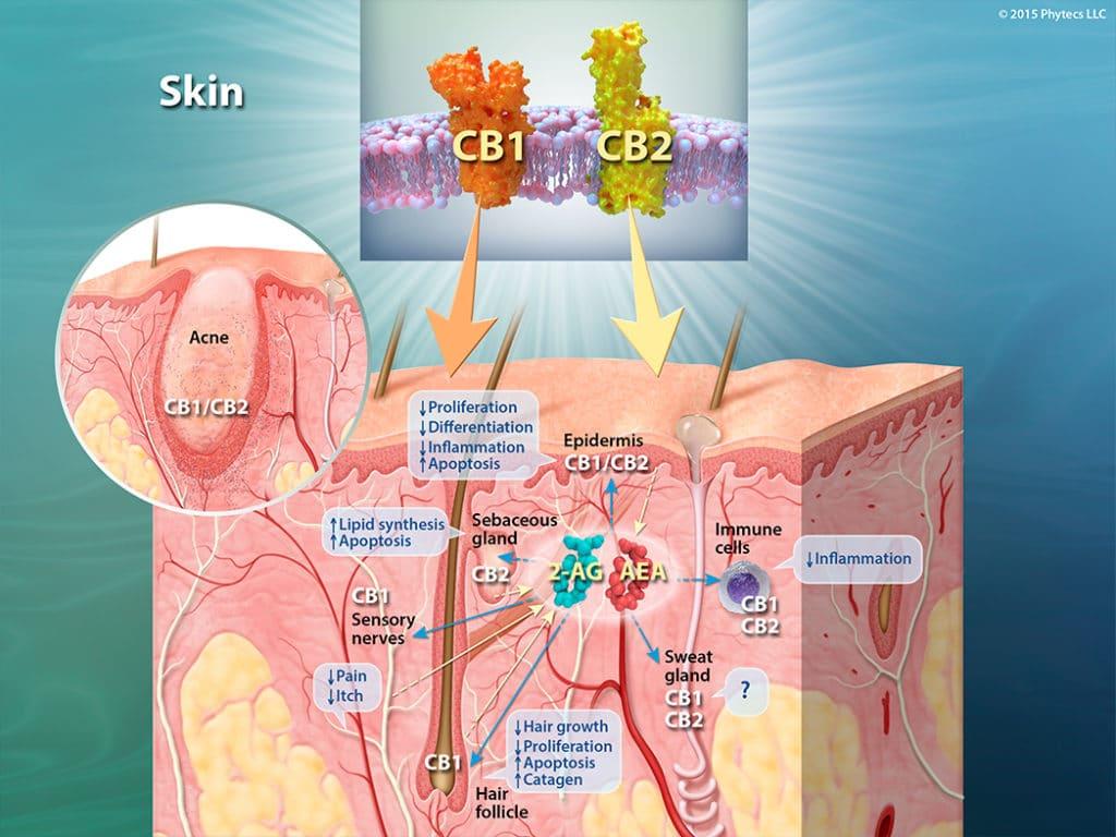 CBD molecular interation with skin