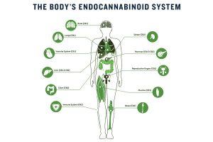 Illustration of the body's Endocannabinoid system