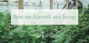 CBD Livity -How we harvest our hemp