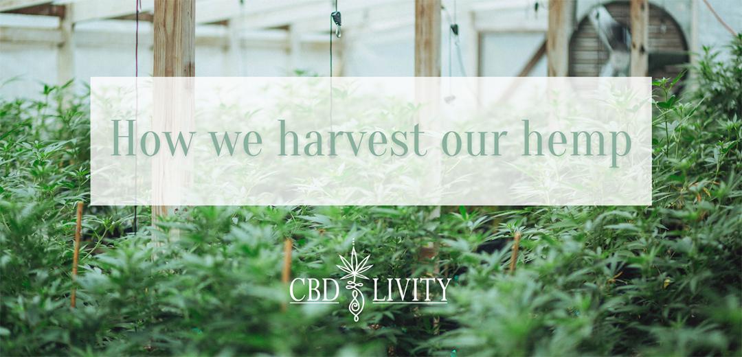 CBD Livity - How we harvest our hemp